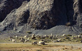Sheeps graze at the foot of the hill — Stock Photo