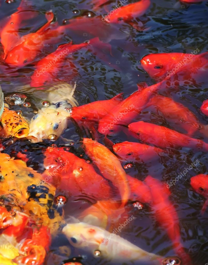 pez koi dorado hermoso en los estanques de peces fotos