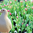 Two loving white doves and fresh tulip flowers — Stock Photo