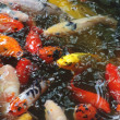 Beautiful golden koi fish in fish ponds — Stock Photo #15425583