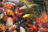 Beautiful golden koi fish in the fish ponds — Stock Photo