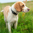 Dog beagle on green meadow — Stock Photo