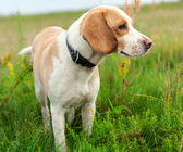 Dog beagle on green meadow — Stock Photo