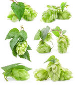 Collection of Hops — Stockfoto