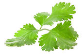 Coriander leaves — Stock Photo