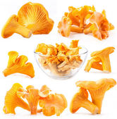 Edible wild mushroom chanterelle — Stock Photo