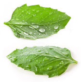 Leaves of basil with water drops — Stock Photo