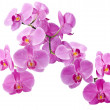 Orchid flowers - Foto Stock