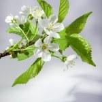 Cherry flowers — Stock Photo #25677349