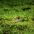 Frog in pond amongst duckweed — Stock Photo