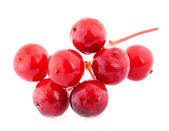 Viburnum berry — Stock Photo