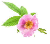 Dog rose (Rosa canina) flowers — Stock Photo