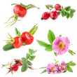 Collection of Rose hips (Rosa canina) flowers and fruits — Stock Photo