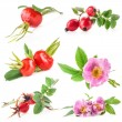 Collection of Rose hips (Rosa canina) flowers and fruits — Stock Photo #37697607