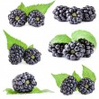 Постер, плакат: Collections of Blackberry with leaves