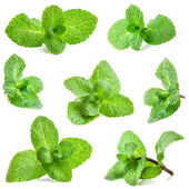 Collections of Fresh mint — Stock Photo