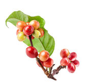 Red coffee beans on branch of coffee tree — Stock Photo