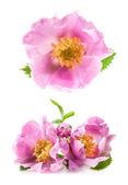 Dog rose (Rosa canina) flowers — Stock Photo