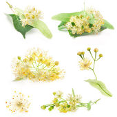 Collections of linden flowers — Stock Photo