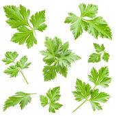 Collections of Parsley leaves — Stockfoto