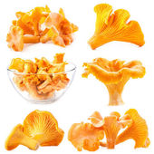 Edible wild mushroom chanterelle (Cantharellus cibarius) — Stock Photo