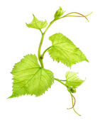 Fresh Green Grape Leaf — Photo