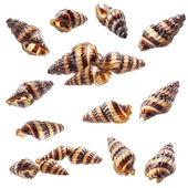 Assassin Snail Clea helena (Anentome helena) — Stock Photo