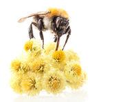 Bumblebee on flowers — Stock Photo