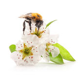 Bumblebee on flowers of pear — Stock Photo