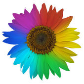 Open blossom of sunflower, colored rainbow — Stock Photo