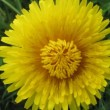 Flower dandelion opening blossom - timelapse video — Stock Video