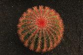 Lanzarote - Cactus — Foto de Stock