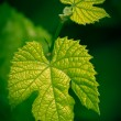 Grape leaves — Foto de Stock