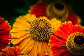 Yellow and red flower in the garden — Stock Photo
