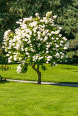 Single blossoming tree in garden — Stock Photo