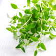 Thyme herb on white tablecloth — 图库照片