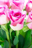 Bright pink roses with copy space — Stock Photo