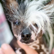 Crested dog — Stock Photo #39479331