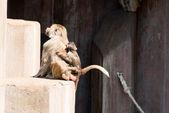 Paio di scimmia babbuino — Foto Stock