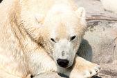 Urso branco — Foto Stock