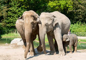 Three elephants — Stock Photo