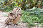 Owl on leash — Stock Photo