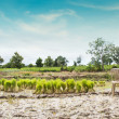 Rice Planting Background — Stock Photo