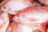 Fresh Nile Talapia Fish — Stock Photo