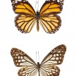 Butterfly Isolate On White Background — Foto de Stock