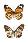 Schmetterling zu isolieren, auf weißem hintergrund — Stockfoto