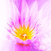 Beauty Lotus Background For Wallpaper — Stock Photo