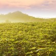 Cassava Field In Thailand — Stock Photo