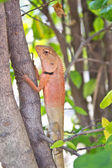 Lizard in nature,iguana — Stock Photo