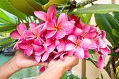 Hand holding on pink plumeria flower — Stock Photo